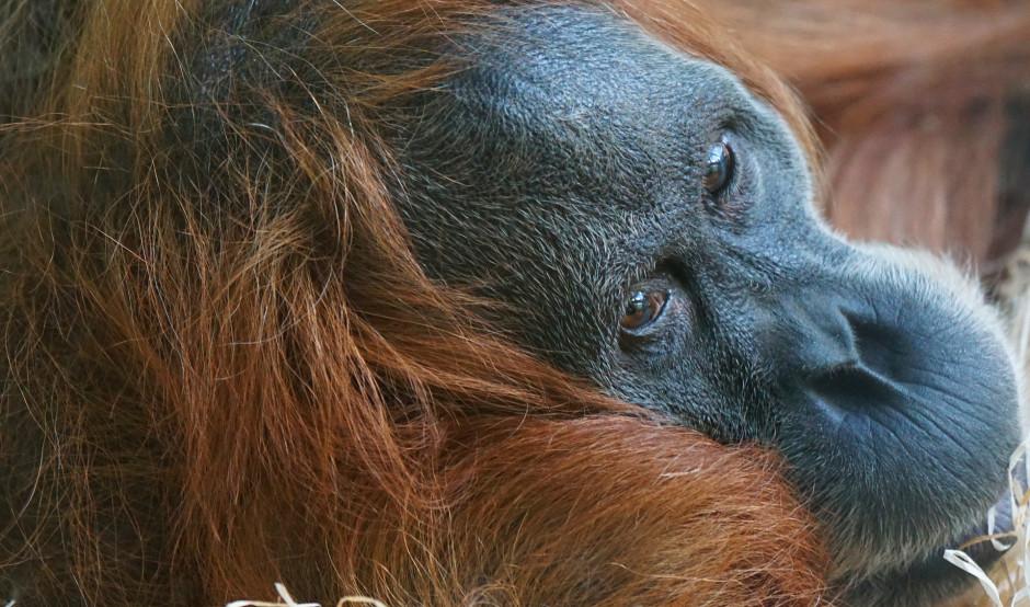 Endangered OrangUtan | Rainforests