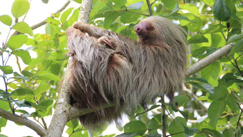 Endangered Sloth | Amazon Rainforest