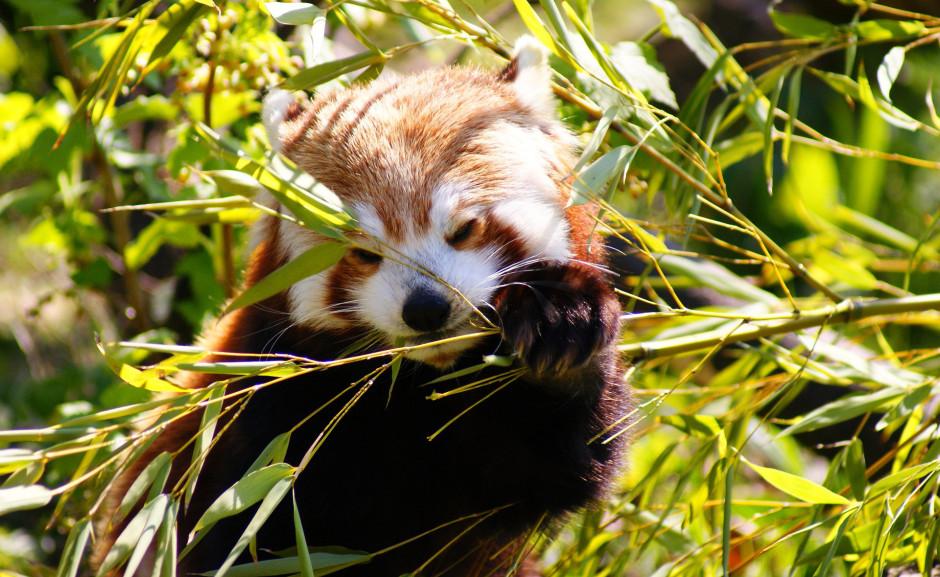 Giant Panda Endangered | China Rainforest