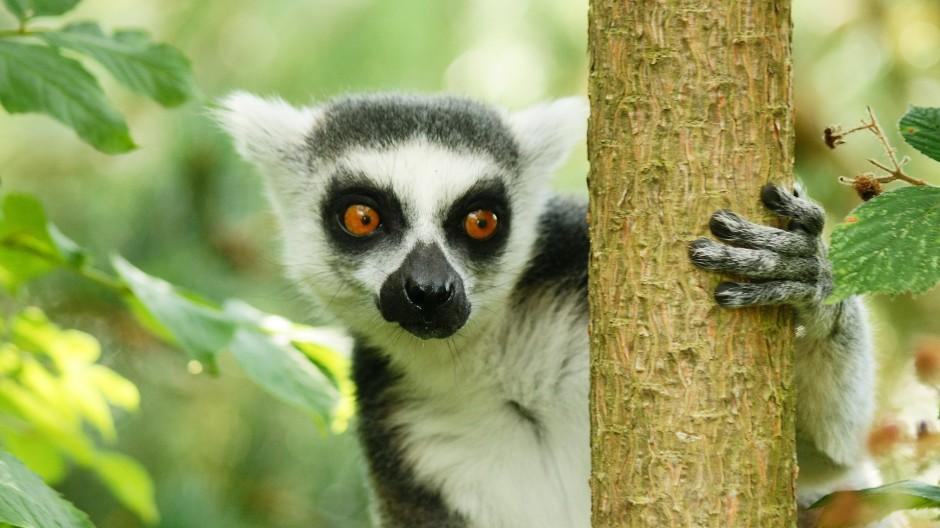 Endangered Rainforests - Madagascar Lemur