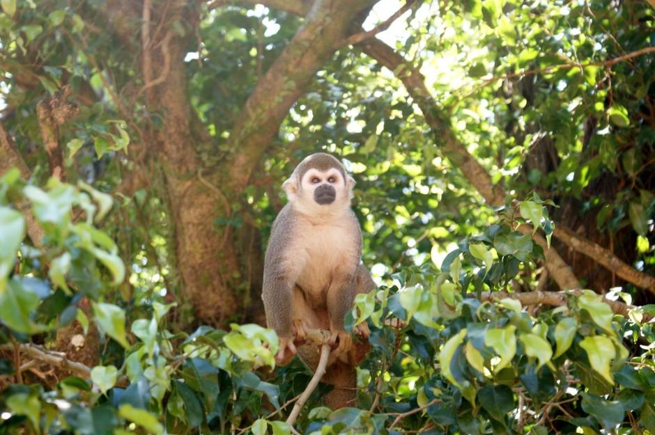 Endangered Rainforests | The Amazon Spider Monkey